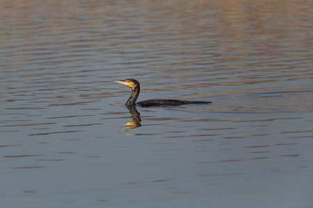 Natural swimming great cormorant (Phalacrocorax carbo)