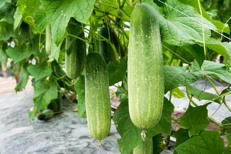 Foto de Closeup cucumber growing at farm background - Imagen libre de derechos