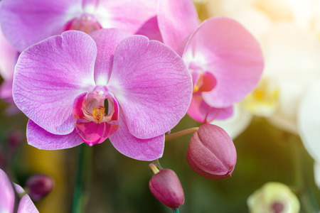 Orchid flower in orchid garden at winter or spring day for postcard beauty and agriculture idea concept design. Phalaenopsis orchid.