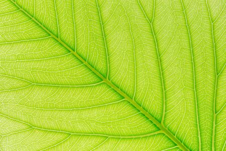 Foto de Green leaf pattern texture background with light behind for website template, spring beauty, environment and ecology design. - Imagen libre de derechos
