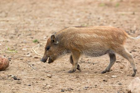 Wild boar striped cub in the wild