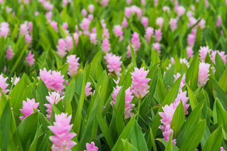 Photo for Curcuma is a genus of about 100 accepted species in the family Zingiberaceae that contains such species as turmeric and Siam Tulip. - Royalty Free Image