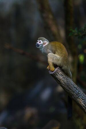 Squirrel monkeys are New World monkeys of the genus Saimiri. They are the only genus in the subfamily Saimirinae.
