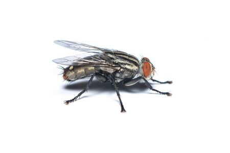 Right view of Housefly isolated on white background