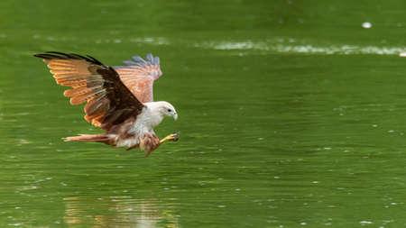 Photo pour Brahminy Kite swooping down above water surface - image libre de droit