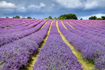 Lavender field in Banstead Surrey