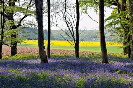 Foto de Bluebells in Wepham Woods - Imagen libre de derechos