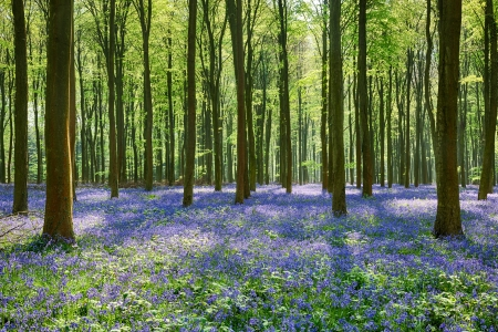 Spring Bluebells In Wepham Woods