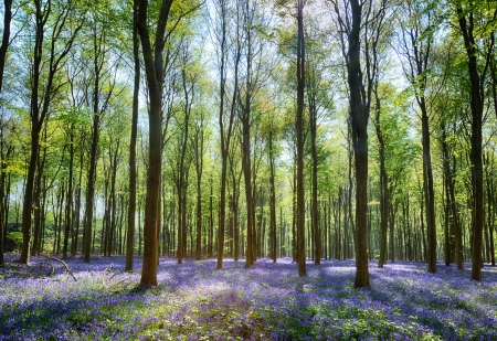 Sunlit Bluebells In Wepham Woods With Blue Sky