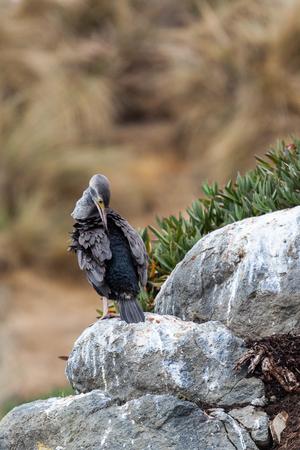 Spotted Shag (Phalacrocorax punctatus)
