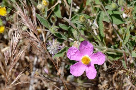 Cretan Rock Rose (Cistus creticus L.)