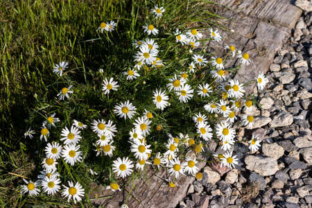Scentless Chamomile (Tripleurospermum inodorum Sch) flowering in late summer