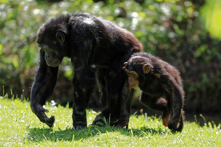 Photo pour A mother and baby chimp - image libre de droit