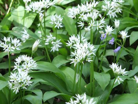 wild garlic flowers in british woodland
