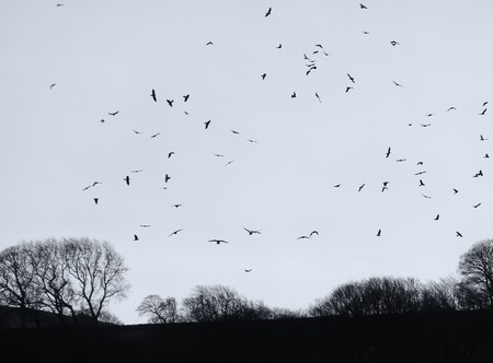 Photo pour a mass of crows flocking over a dark winter evening sky with black bare trees in silhouette - image libre de droit