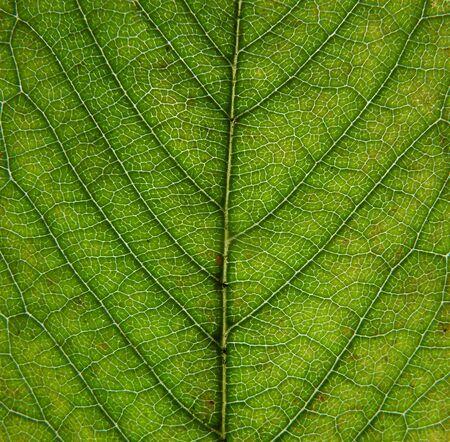 Foto de close up of an green early autumn leaf showing veins and cells - Imagen libre de derechos