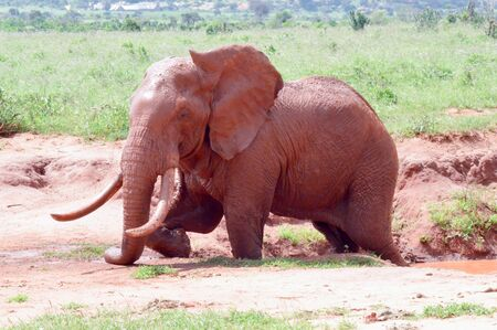 red elephant taking a mud bath