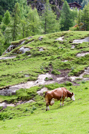 Cow with a huge pi who grazes on a mountain pass of a Tyrolean mountain in Austria