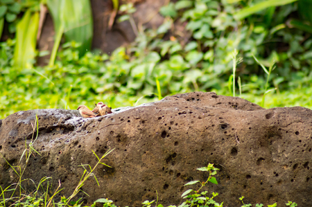 Bath of several birds Coral beak on a rock in the savannah of Amboseli Park in Kenya
