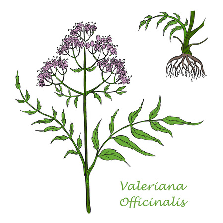 Illustration pour Hand Drawn Colored Branch of Valerian with Root Isolated on the White Background. Herbal with Latin Name Valeriana Officinalis. Herbal Medicine Component with Wide Range of Application. - image libre de droit