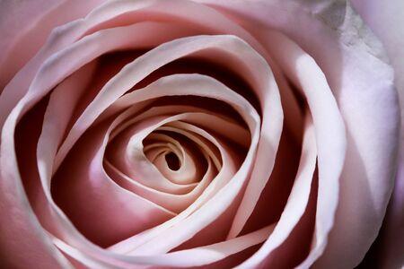 Photo pour Romantic artistic closeup bouquet of tender romantic blooming Rose flower. Beautiful sensual blossoms in vibrant sunlight. Fresh foliage natural background in bright color. - image libre de droit