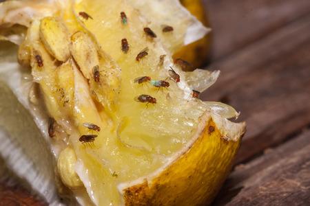 Foto de fruit fly on lemon - Imagen libre de derechos