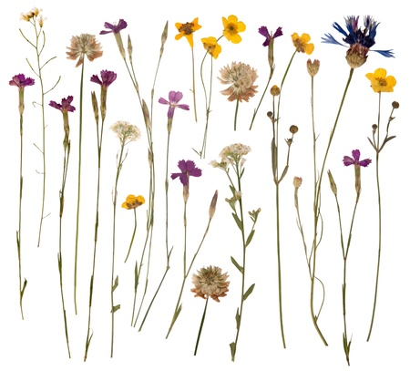 Pressed wild flowers isolated on white background