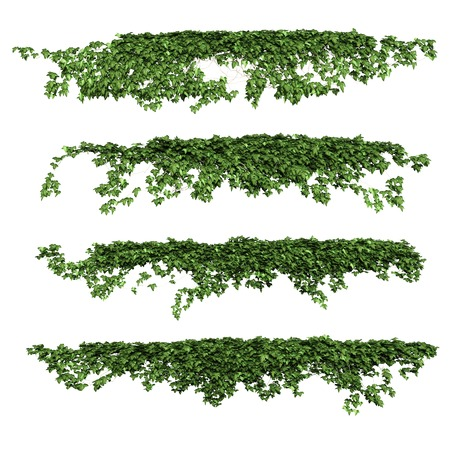 Photo for Ivy leaves isolated on a white background. - Royalty Free Image