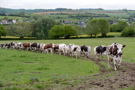Normandy, France, May 2013. Dairy herd  on the way to be milked. Cows Norman and Prim' Holstein breed,