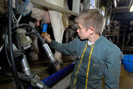 Normandy, France, May 2014. Cow's milking  Cows Prim Holstein breed. Young boy in a farm during an agricultural apprenticeship.