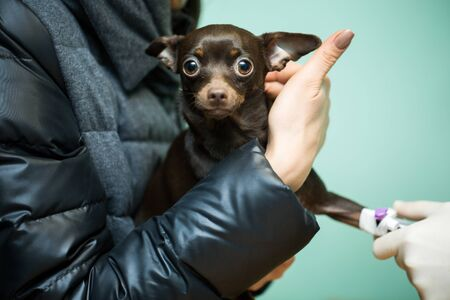 Photo for Veterinary catheter clinic for dogs. Dog in the hands of the owner - Royalty Free Image