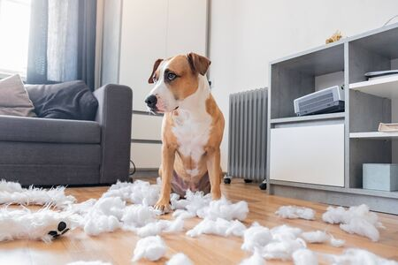 Foto de Guilty dog and a destroyed teddy bear at home. Staffordshire terrier sits among a torn fluffy toy, funny guilty look - Imagen libre de derechos