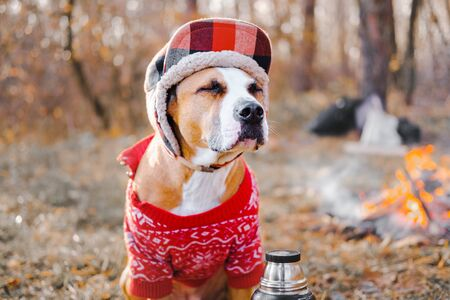 Photo pour Portrait of a dog in warm sweater and lumberjack hat outdoors. Staffordshire terrier sits by the fire at a campsite and enjoys chilly autumn weather - image libre de droit