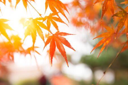 Photo pour Japan Autume beautiful red maple tree leaf for Kyoto November travel banner background. - image libre de droit