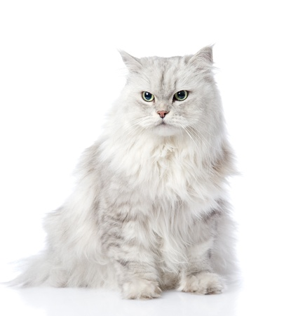 gray persian cat looking away  isolated on white background