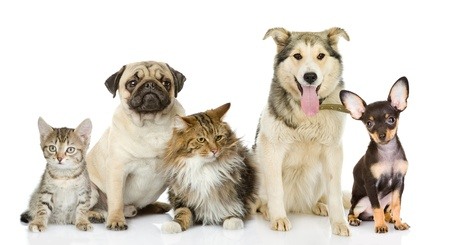 Group of cats and dogs in front  looking at camera  isolated on white background