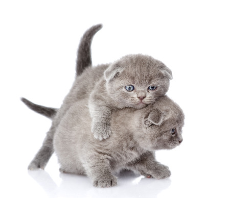 two playful british shorthair kittens  isolated on white background