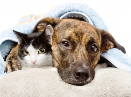 sad dog and cat lying on a pillow under a blanket  isolated on white backgroundの写真素材