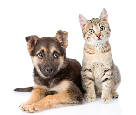 Photo pour dog and  kitten. looking at camera. isolated on white background - image libre de droit