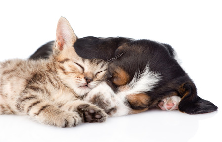 sleeping basset hound puppy hugs tiny kitten. isolated on white backgroundの写真素材