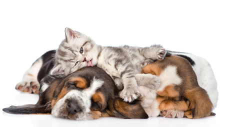 Photo pour Funny kitten lying on the puppies basset hound and licks them. isolated on white background - image libre de droit