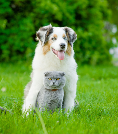 Australian shepherd puppy and cat sitting together on the green grass.の写真素材
