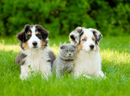Photo pour Two Australian shepherd puppies and scottish cat lying on green grass. - image libre de droit