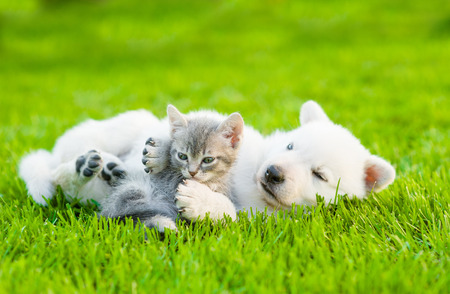 Photo pour White Swiss Shepherd`s puppy playing with tiny kitten on green grass - image libre de droit