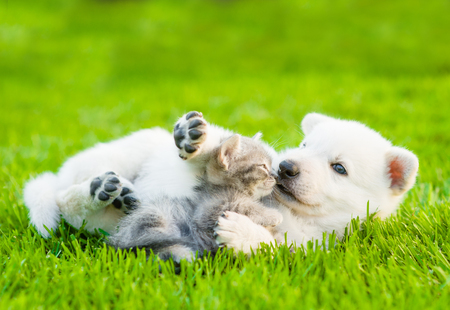 Foto de White Swiss Shepherd`s puppy playing with tiny kitten on green grass - Imagen libre de derechos