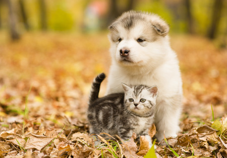 Photo pour Scottish cat and alaskan malamute puppy dog together in autumn park. - image libre de droit