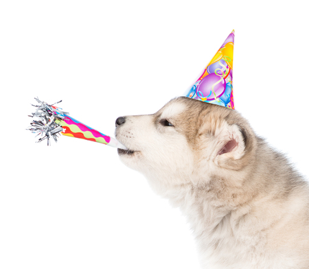 Photo pour Dog in birthday hat whistle blowing. isolated on white background. - image libre de droit