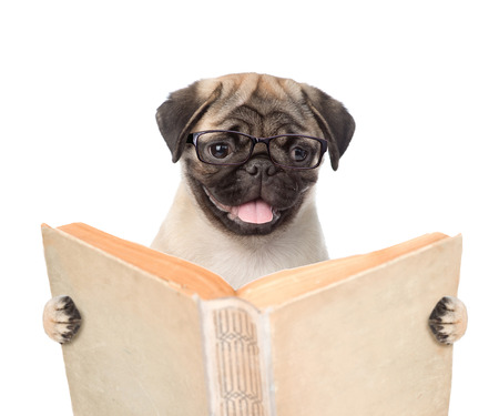 Foto de Pug puppy holding open book. isolated on white background. - Imagen libre de derechos