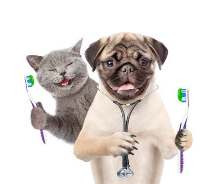 Photo pour Pug puppy with stethoscope on his neck and happy kitten holding a toothbrushes. isolated on white background. - image libre de droit