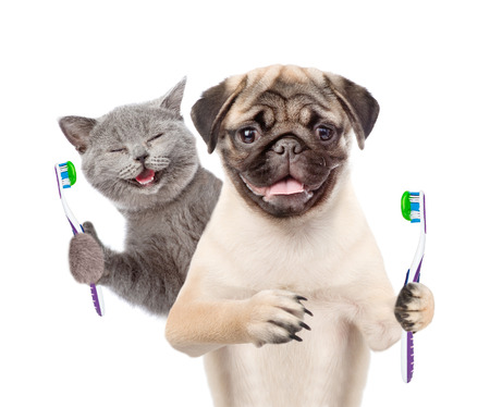 Photo pour Happy kitten and pug puppy holding a toothbrushes. isolated on white background. - image libre de droit